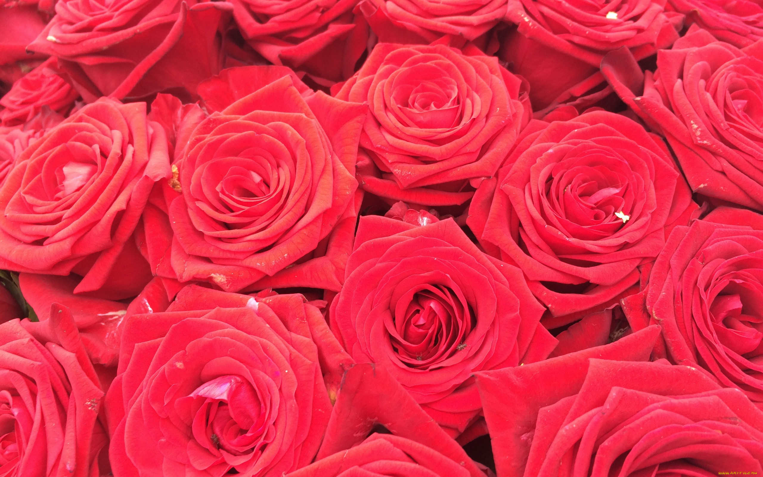 картинки много роз красных